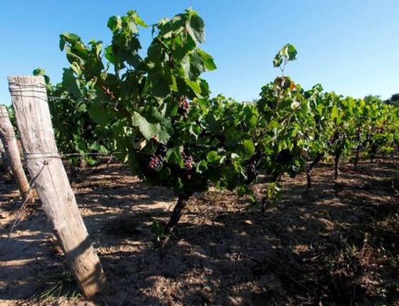 Jus de raisin blanc bio & local