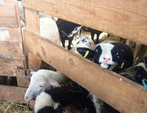 Yaourt nature au lait de brebis bio & local