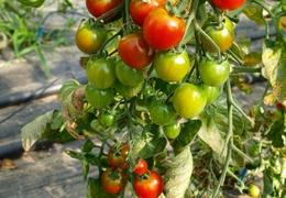 Tomates cerises bio & locales