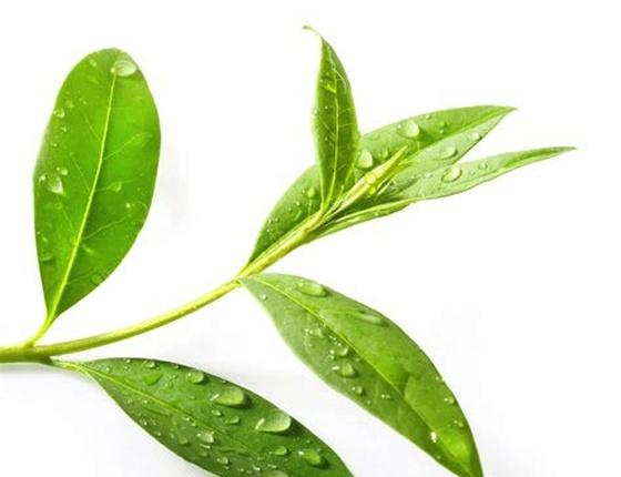 Eau florale de Tea Tree bio