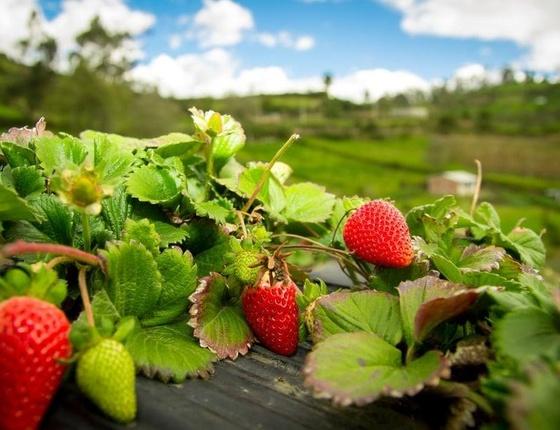 Sirop de fraise bio & local